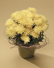 Blooming Chrysanthemum with willow accent