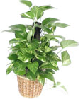 Pothos on a Pole
